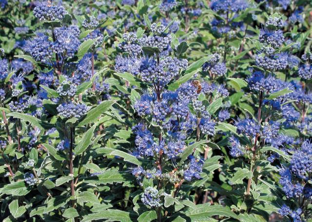 Caryopteris 'Grand Bleu'