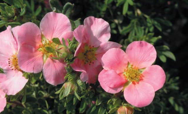 Potentille Lovely Pink