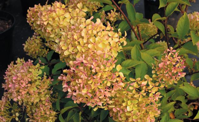 Hydrangea paniculata Romantic