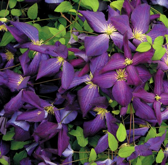 Clématite 'Purpurea'