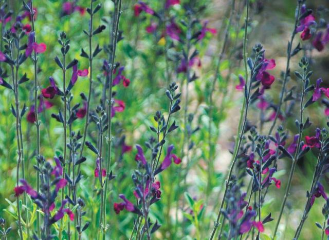 Lot de 2 Salvia Violette de Loire