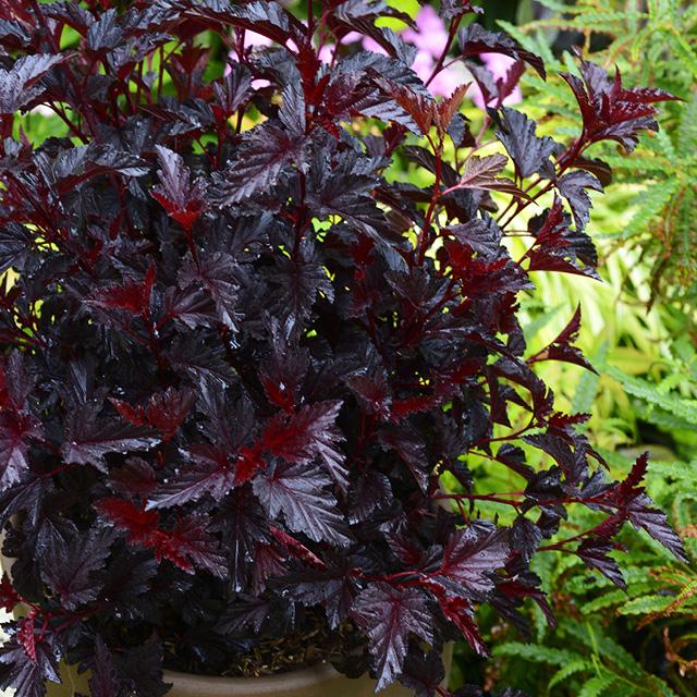 Physocarpe  'All Black'