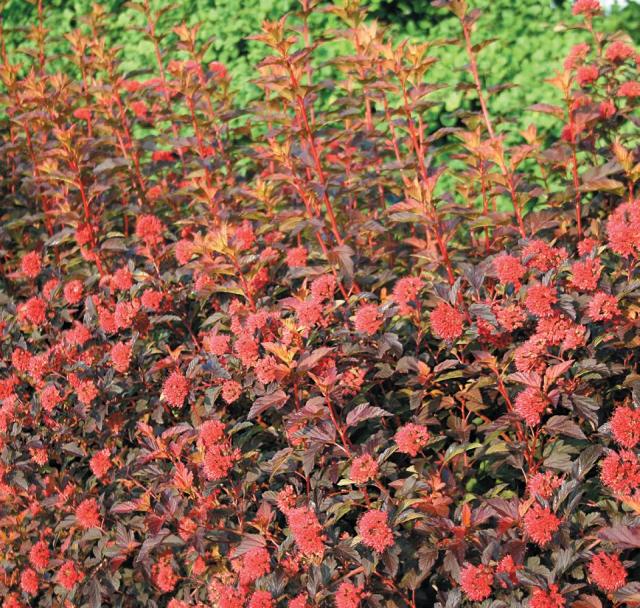 Physocarpe à feuilles d'obier 'Diable d'or'