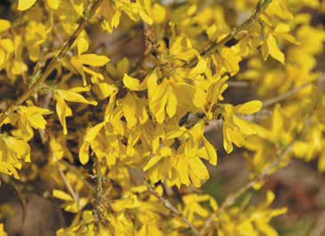 Forsythia couvre-sol 'Marée d'Or'