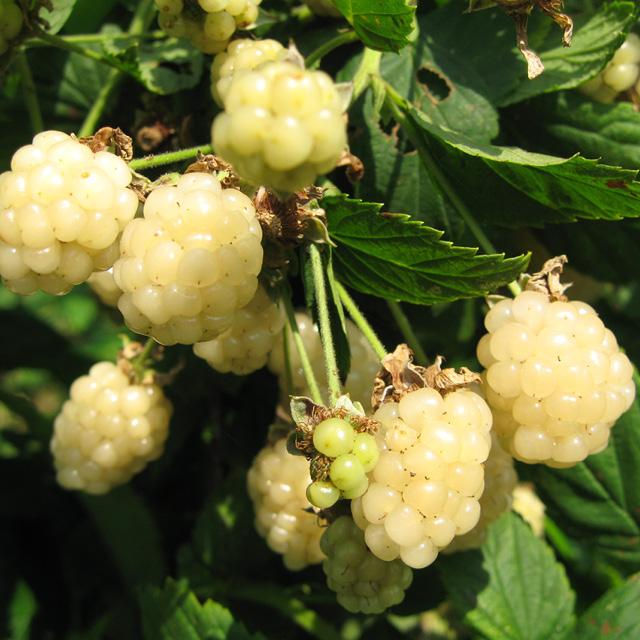 Mûre 'Polar Berry'