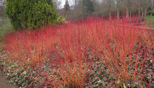 Lot de 2 Cornouiller 'Anny's Winter Orange'