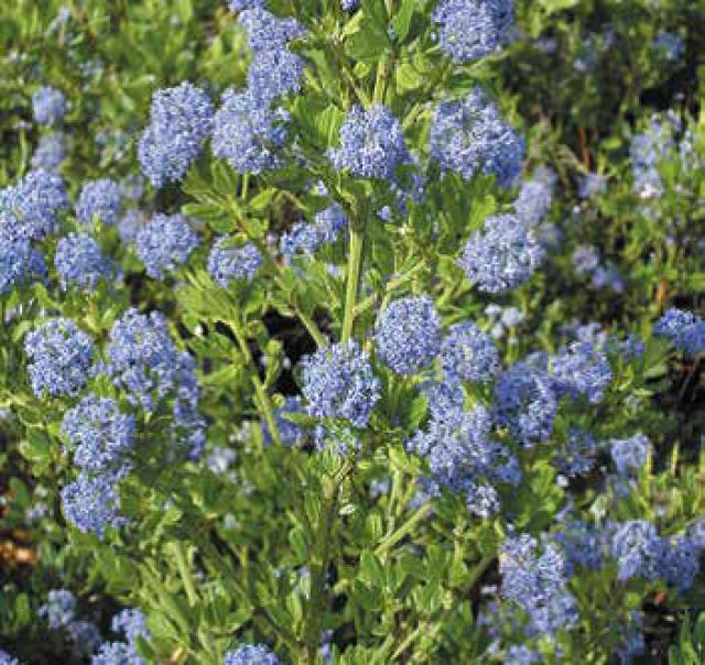 Lilas de Californie 'Skylark'